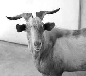 Gold chain wearing goats, self immolation and common sense