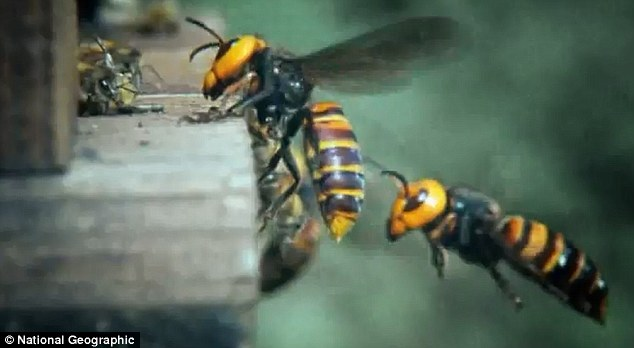 Cool Video: 30,000 Bees Massacred By Giant Alien Hornets