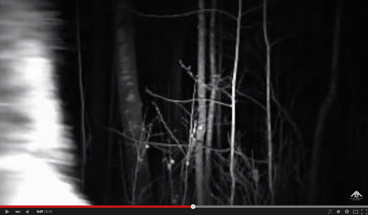 Alberta Conservation Biologists: Did We Just Record Bigfoot?